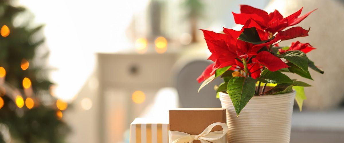 Stella di Natale rigogliosa tutto l'anno